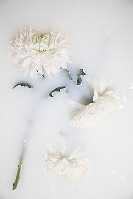 Chrysanthemums in milky water - p1248m2281057 by miguel sobreira
