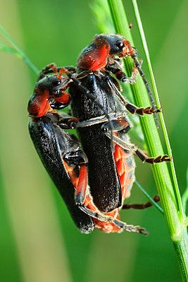 Soldier beetles - p1501m2199800 by Alexander Sommer
