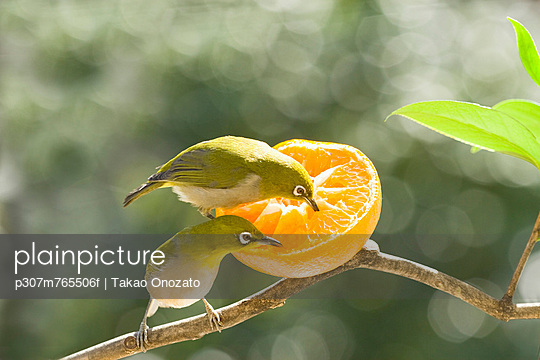 Japanese White Eye birds and tangerine
