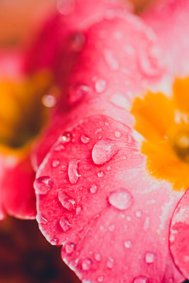 Pink flower with water droplets - p1628m2272573 by Lorraine Fitch