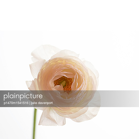 Portrait of a white Ranunculus - p1470m1541516 by julie davenport