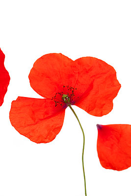 Poppy flower against white background - p647m1113109 by Tine Butter