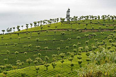 Teeplantage Munnar - p759m1207276 von Stefan Zahm