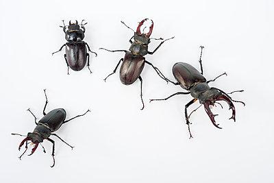 Four stag beetles, Lucanus servus - p1437m2057035 by Achim Bunz