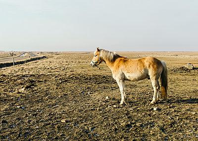 Pferd auf der Fenne in Hallig Hooge - p1085m1168933 von David Carreno Hansen