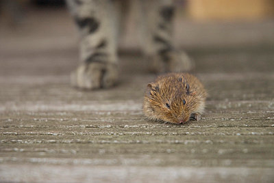 Mouse eaten by cat - p6740031 by ME Schneider