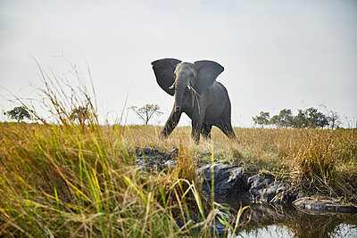 Namibia, Caprivi, cow elephant in defensive attitude - p300m1567806 by Christian Vorhofer