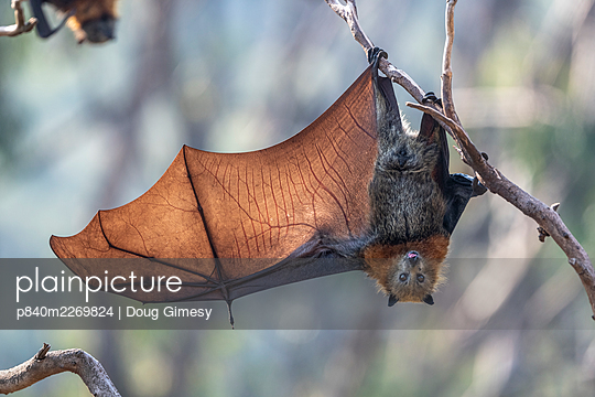 Grey-headed flying-fox (Pteropus poliocephalus) hanging from a branch with one wing spread, Yarra Bend Park, Kew, Victoria, Australia. - p840m2269824 by Doug Gimesy