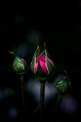 Rose bud - p1088m1034539 by Martin Benner