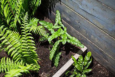 Ferns and wild arum - p1059m2209204 by Philipp Reiss