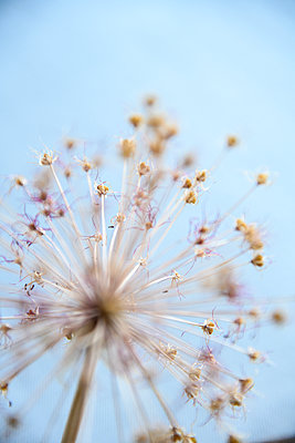 Wilted allium flower - p427m2206470 by Ralf Mohr