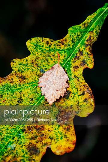 Small autumn beech leaf on an large oak leaf - p1302m2231255 by Richard Nixon