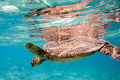 Sea turtle floats at the surface of the clear waters off oahu, hawaii - p1166m2216690 by Cavan Images