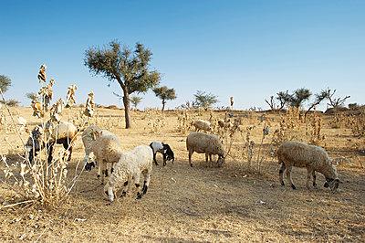 Schafe weiden in der Savanne bei Jhunjhunu  - p1259m1111437 von J.-P. Westermann