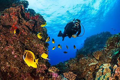 Scuba diver looking at bright Butterflyfish (Chaetodontidae); Lanai City, Lanai, Hawaii, United States of America  - p442m1578824 by Jenna Szerlag
