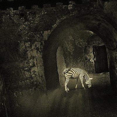 grasendes Zebra - p9792194 von Jaeckel