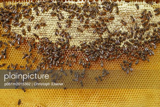 Bienen auf Honigwabe - p061m2015362 von Christoph Ebener