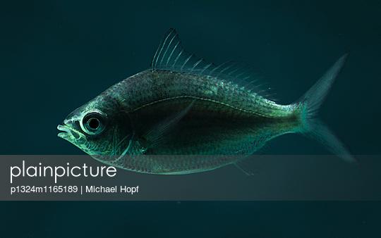 Fisch im Aquarium - p1324m1165189 von michaelhopf