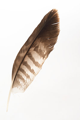 Buzzard feather - p067m1060377 by Thomas Grimm