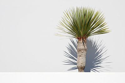 Palmenähnlicher Baum vor weißer Wand auf dem Marktplatz von Teguise - p1162m1548245 von Ralf Wilken