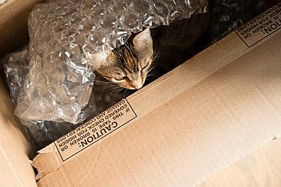 Brown Tabby Cat Hiding in Cardboard Box Under Bubble Wrap - p1166m2218352 by Cavan Images