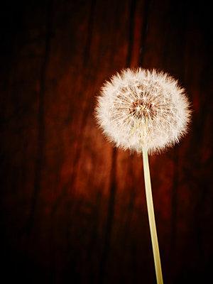 Dandelion ball - p968m658858 by roberto pastrovicchio