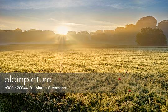 Germany, Bavaria, Swabia, Tussenhausen, Grain field and morning fog at sunrise, Augsburg Western Woods Nature Park - p300m2004419 von Martin Siepmann
