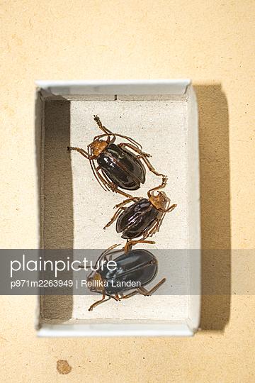 Beetles in matchbox - p971m2263949 by Reilika Landen