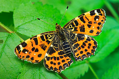 Map butterfly - p1501m2071092 by Alexander Sommer