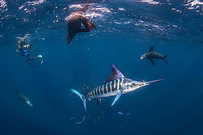 Striped marlin hunting mackerel and sardines, joined by sea lions, photographed by diver - p429m2068760 by Rodrigo Friscione