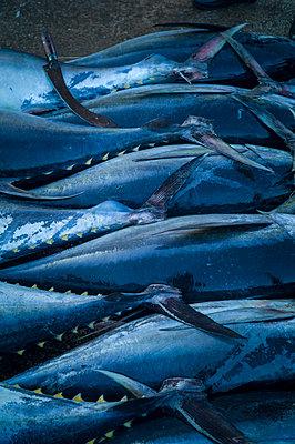 Tuna fish lined up on a market in Negombo, Sri Lanka, Asia - p934m1558830 by Sebastien Loffler