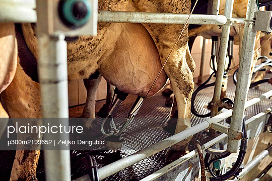 Close-up of cow with milking machine in dairy farm - p300m2199652 by Zeljko Dangubic