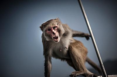 Scaring monkey - p1007m1144342 by Tilby Vattard