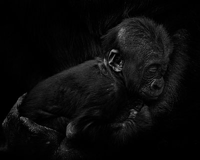 Gorilla baby in mother's arms in front of black background - p300m2030020 by Mark Johnson