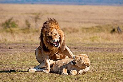 Löwe bei der Paarung - p533m885422 von Böhm Monika