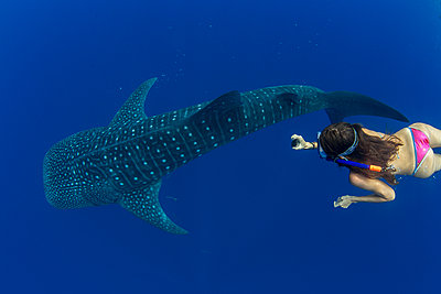 Tourist snorkelling with a whale shark (Rhincodon typus) in Honda Bay, Palawan, The Philippines, Southeast Asia - p871m2122882 by Duncan Murrell
