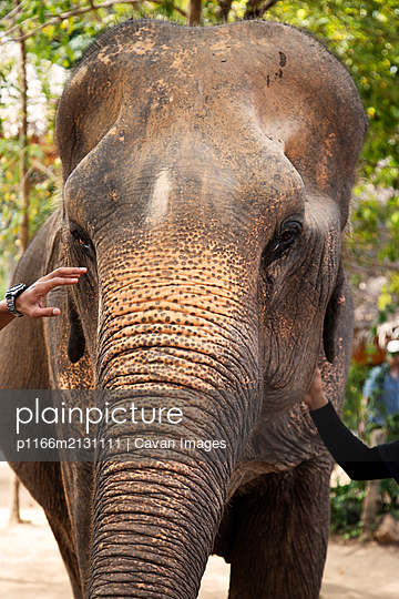 Indian Elephant At A Local Elephant Sanctuary In Thailand - p1166m2131111 by Cavan Images
