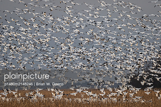 Snow Geese blast off from a field - p1480m2148246 by Brian W. Downs