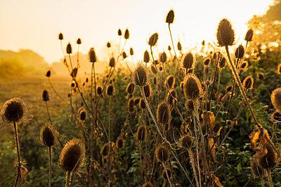 Wild teasel in morning light - p312m2052636 by Hans Berggren