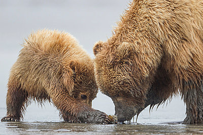 Grizzly Bear mother and cub digging for clams on tidal flats - p884m864424 by Ingo Arndt