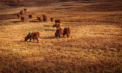 Cattle - p1234m1044573 by mathias janke