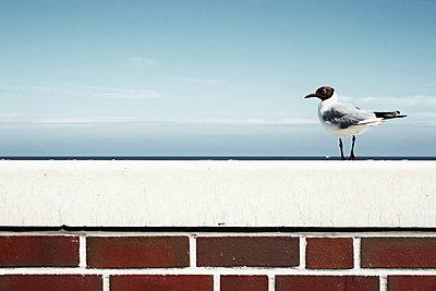 Lachmöwe auf einer Mauer - p1574m2191469 von manuela deigert