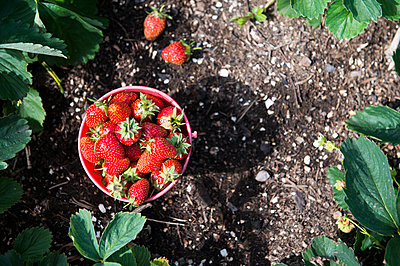 Bucket of strawberries in garden - p555m1411141 by Aleksander Rubtsov