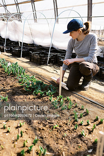 young millennial woman tending to her tulips in her farm high tunnel - p1166m2269672 by Cavan Images