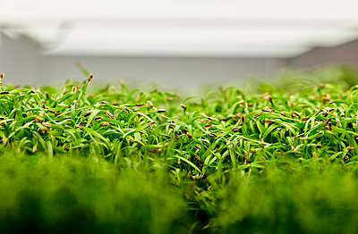 Close up of tightly packed coriander seedlings growing in urban farm - p1100m2271572 by Mint Images