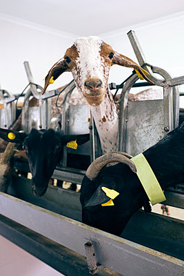 factory of milking goats to machine - p1166m2208030 by Cavan Images