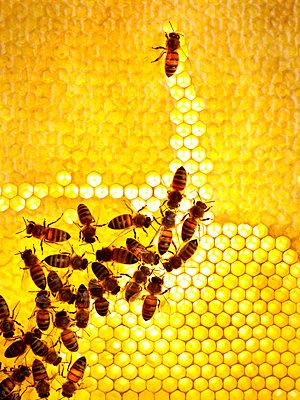 Honey bees Sweden - p312m1076833f by Jonn