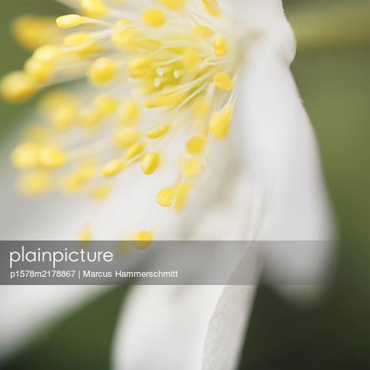 Pollen, Nahaunfahme - p1578m2178867 von Marcus Hammerschmitt