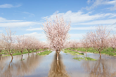 Blossom trees on field during flood - p1166m1415194 by Cavan Images