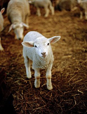 Lamb - p1197m995484 by Stefan Bungert